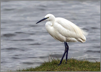 Little Egret (Egretta garzetta), Upton Warren NR, February 2016
