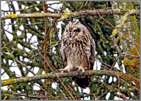 Short-eared Owl (Asio flammeus), Worcestershire, February 2016