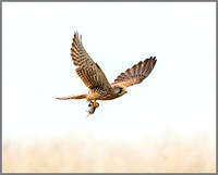 Common Kestrel (Falco tinnunculus) with Prey, Gloucester, November 2014  w