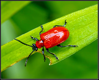 Red or Scarlet Lily Beetle (Lilioceris lilii), Bromsgrove, June 2012