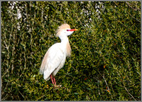 Cattle Egret (Bubulcus ibis), Mallorca, May 2016