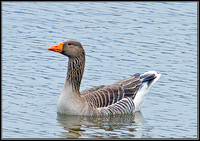 Greylag Goose, Upton Warren Moors, 14 March 2012