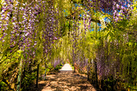Wisteria Tunnel, Hampton Court, Herefordshire, May 2017