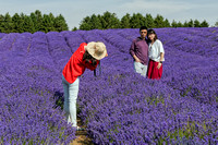 Tourists in Lavender Field, Snowshill, July 2017