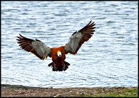 Ruddy Shelduck, Upton Warren Flashes, 30 April 2010