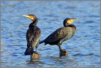 Cormorants (Phalacrocorax carbo), Upton Warren, November 2014