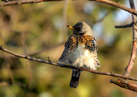 Fieldfare - Turdus pilaris, Garden, March 2018