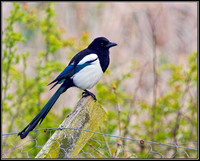Magpie, Upton Warren NR, 07 May 2012