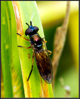 Soldier-flies