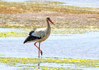 White Stork - Ciconia ciconia, Algarve, Portugal, May 2018
