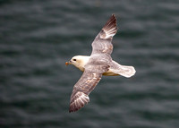 Northern Fulmar - Fulmarus glacialis, Yorkshire, June 2018