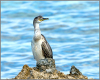 !st-year Shag (Phalacrocorax aristotelis), Mallorca, May 2014