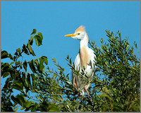 Cattle Egret (Bubulcus ibis), Mallorca, May 2014
