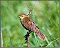 Grasshopper Warbler, Anglesey, 08 May 2011