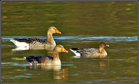 Pink-footed Goose (right), Upton Warren Sailing Pool, Febuary 2011