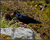 Chough, Anglesey, 12 May 2011