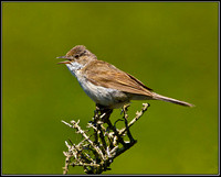 Common Whitethroat, Anglesey 03 July 2011