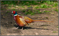 Cock Pheasant, Warwickshire, 20 March 2012