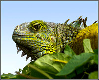 Green Iguana, Stratford on Avon Butterfly Farm, 12 September 2011