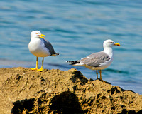 Yellow-legged Gulls, Mallorca, May 2010