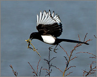 Magpie (Pica pica), Upton Warren NR, March 2014