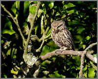 Little Owl, Bittell, July 2010