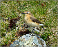 Female Northern Wheatear (Oenanthe oenanthe), Shropshire, April 2014
