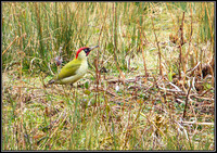 Green Woodpecker, Upton Warren Moors 12 March 2012