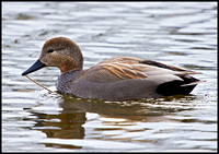 Gadwall, Marsh Lane, 13 February 2010