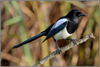 Magpie (Pica pica), Upton Warren, November 2014