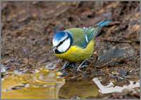 Blue Tit, Hillers, January 2011