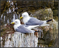 Kittiwakes, Anglesey, 12 May 2011