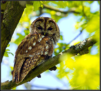 Tawny Owl, Worcestershire, May 2012