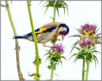 goldfinch (Carduelis carduelis), Mallorca, May 2014