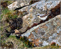Northern Wheatears (Oenanthe oenanthe), Shropshire, April 2014