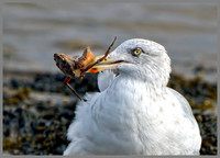 Herring Gull (Larus argentatus), Norfolk September 2014