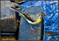 Grey Wagtail, Powys, 10 June 2011
