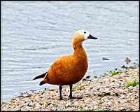 Ruddy Shelduck, Upton Warren Moors, 03 May 2010
