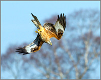Red Kite (Milvus milvus), Rhayader, March 2014