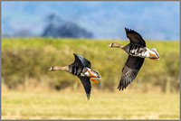 White-fronted Geese (Anser albifrons).