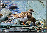 Juvenile Turnstone, Anglesey, 06 July 2011