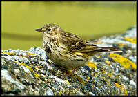 Meadow Pipit, Anglesey, 09 May 2011