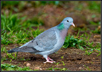 Stock Dove, Warwickshire, 20 March 2012