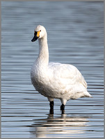 Bewick's Swan (Cygnus columbianus), Slimbridge WWT, November 2014