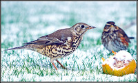 Mistle Thrush with Redwing, Garden, 04 February 2012