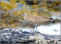 Whimbrel, Anglesey, 09 May 2011