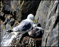 Kittiwakes, Anglesey, 23 July 2009