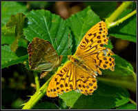 Silver-washed Fritillaries, Wyre Forest, 25 July 2011