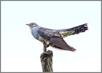 Cuckoo, Upton Warren Flashes, May 2010