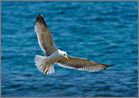 Yellow-legged Gull (Larus michahellis), Mallorca, May 2014